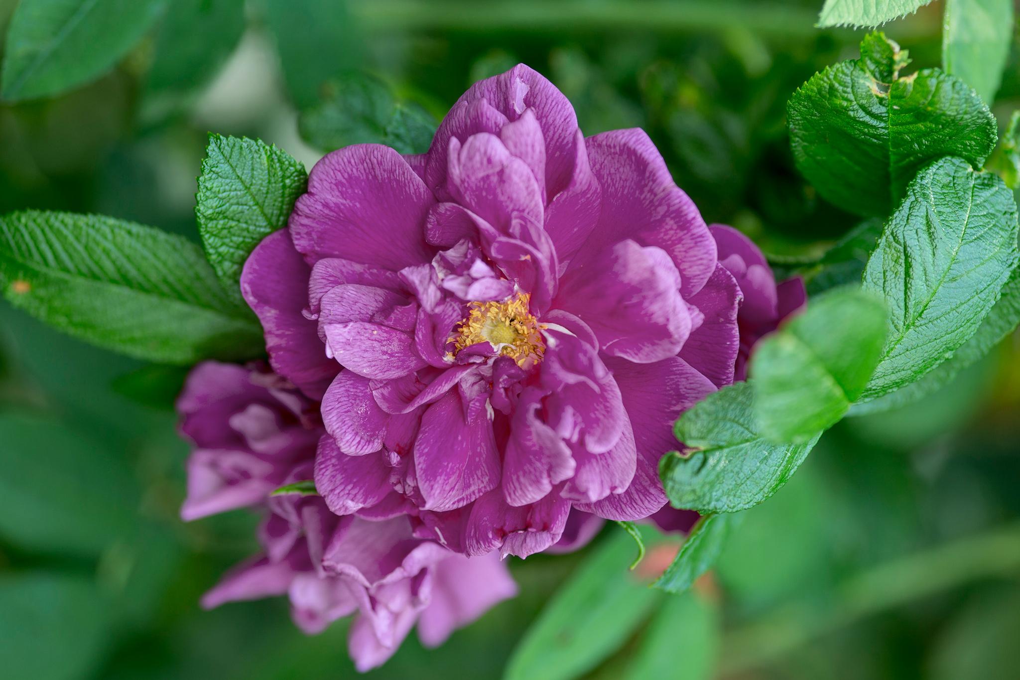 rosa-roseraie-de-lhay-2
