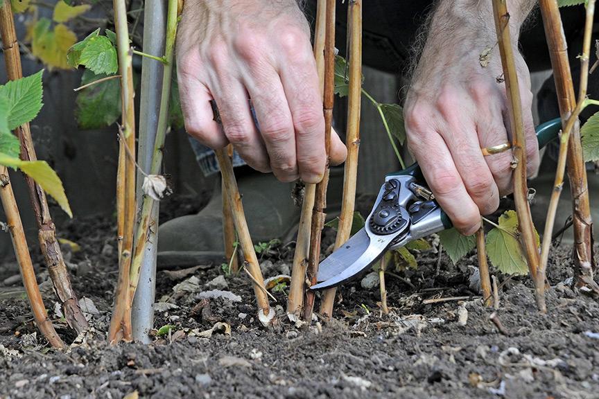 Should I cut summer fruiting raspberry canes