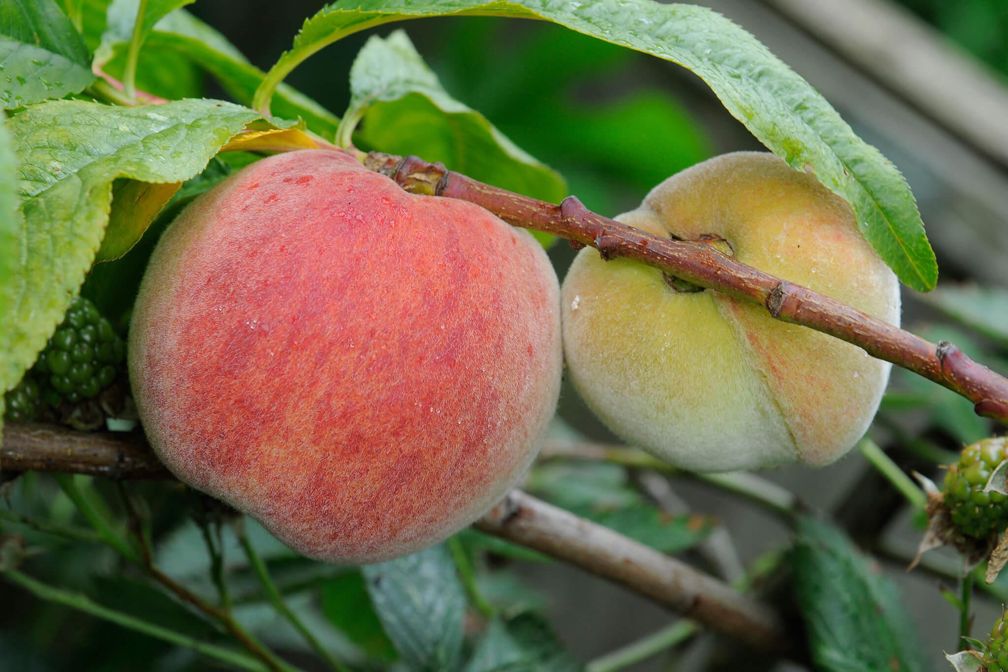 peach-prunus-persica-avalon-pride-2