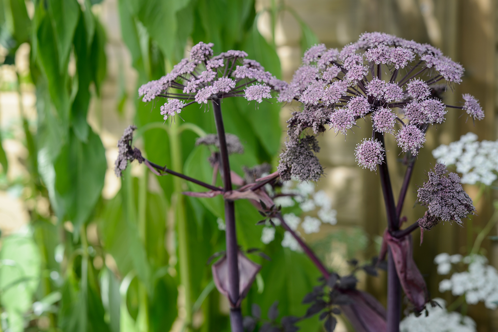 angelica-gigas-3