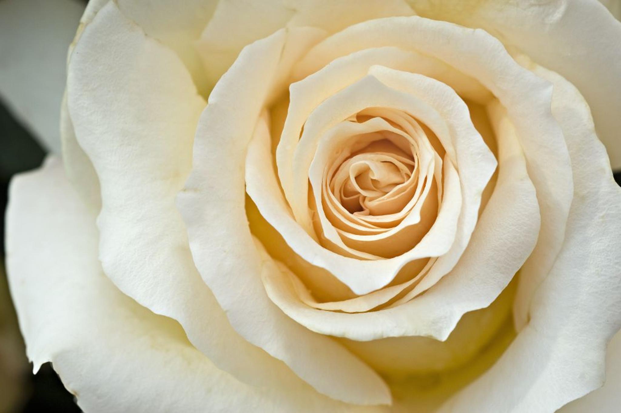 rosa-isnt-she-lovely-2