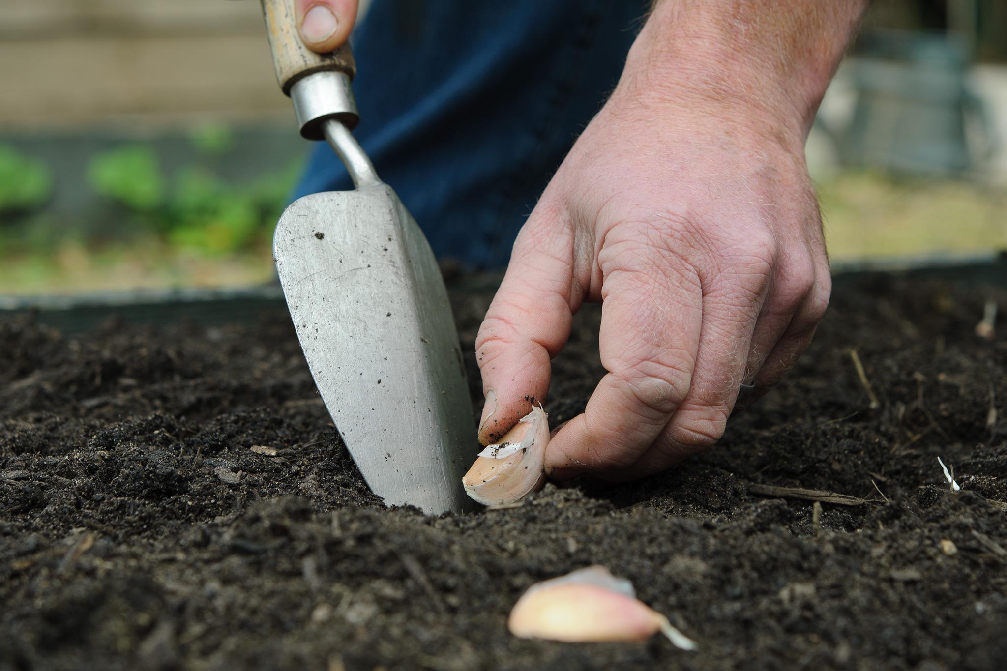 planting-garlic-cloves-outdoors-2