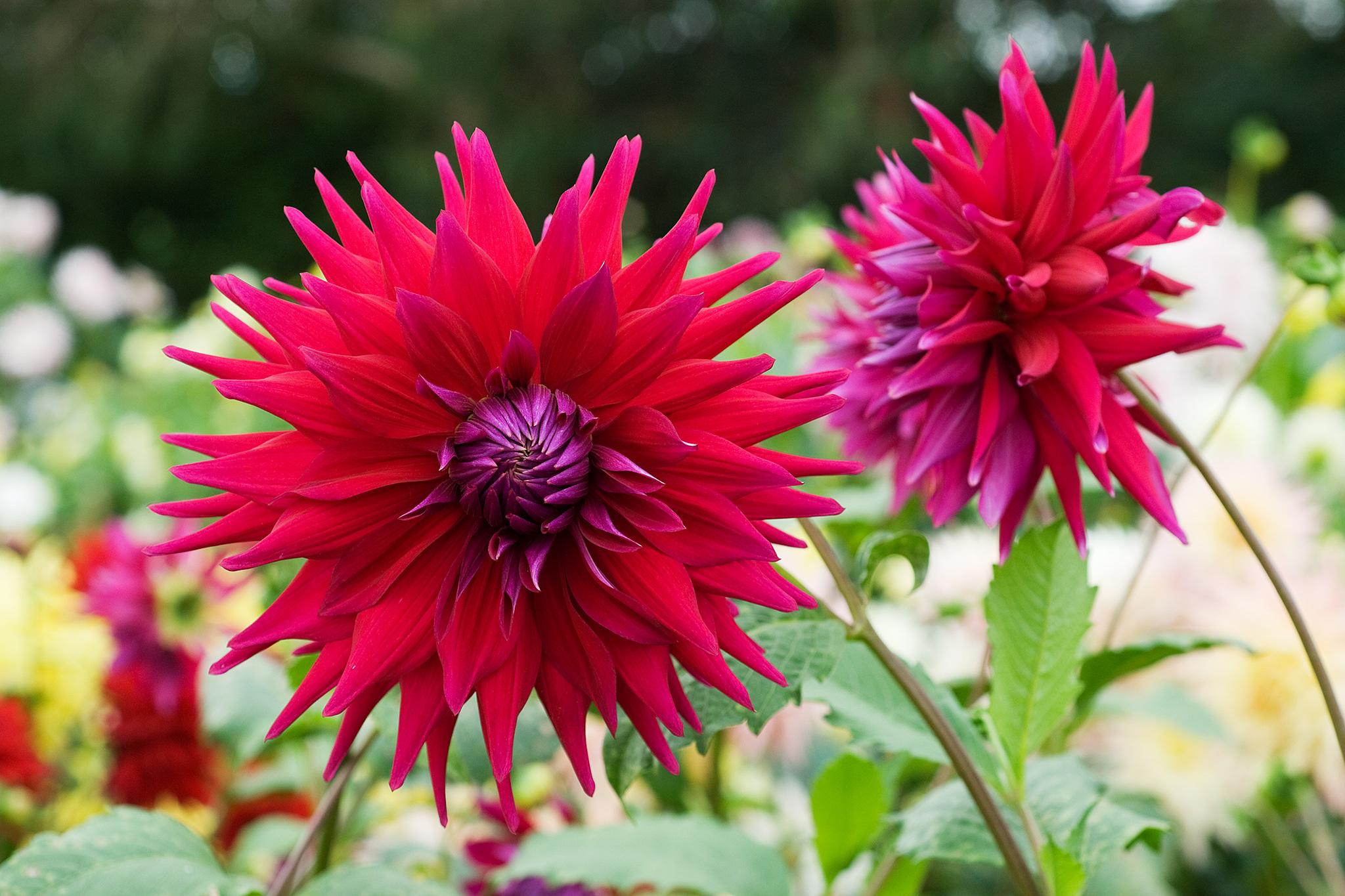Flowers to pick in September - September