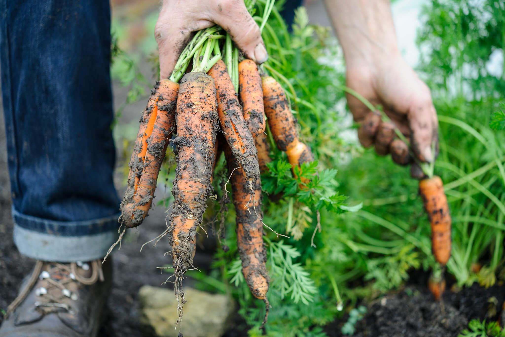 bunch-of-carrots-2
