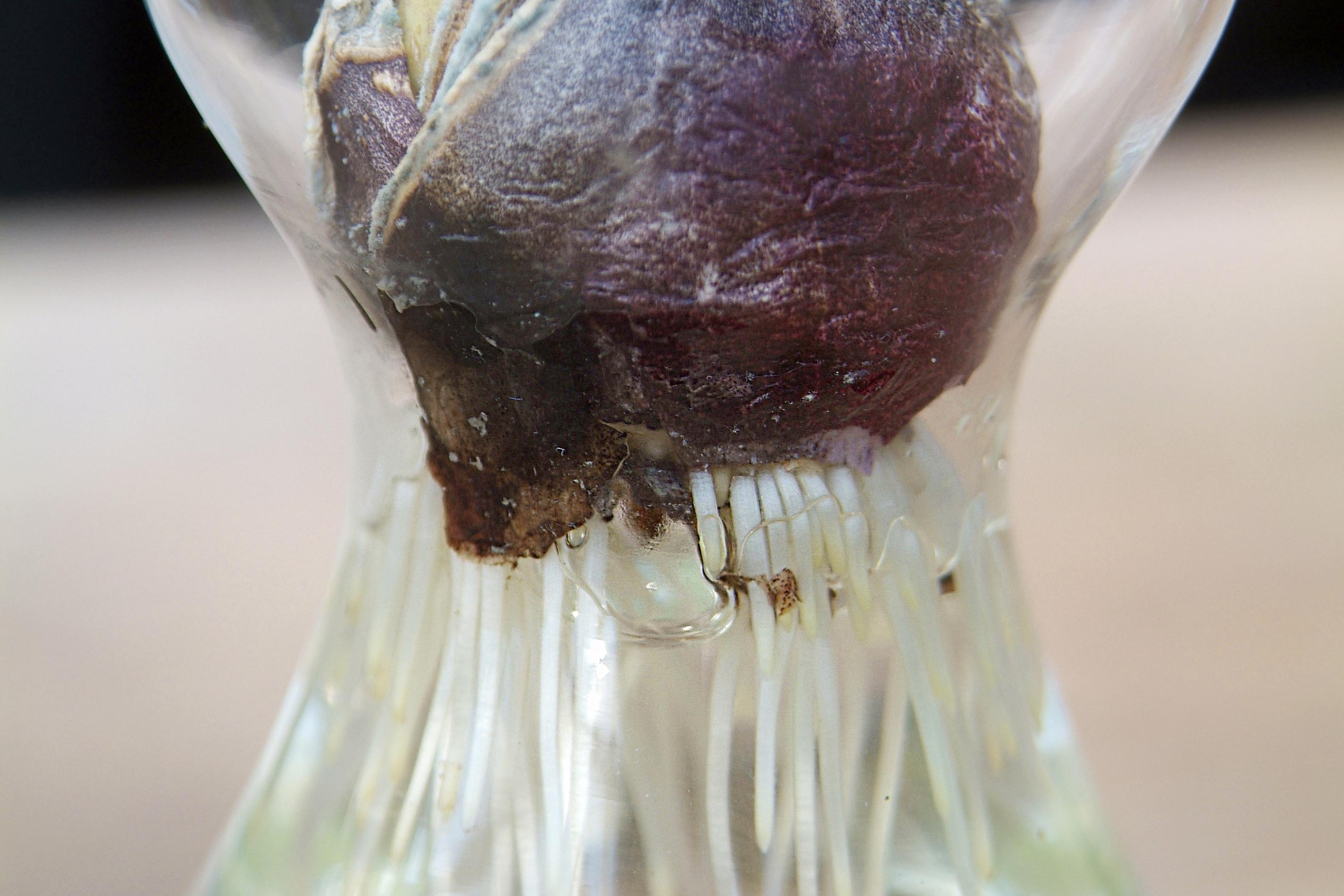 hyacinth-roots-3