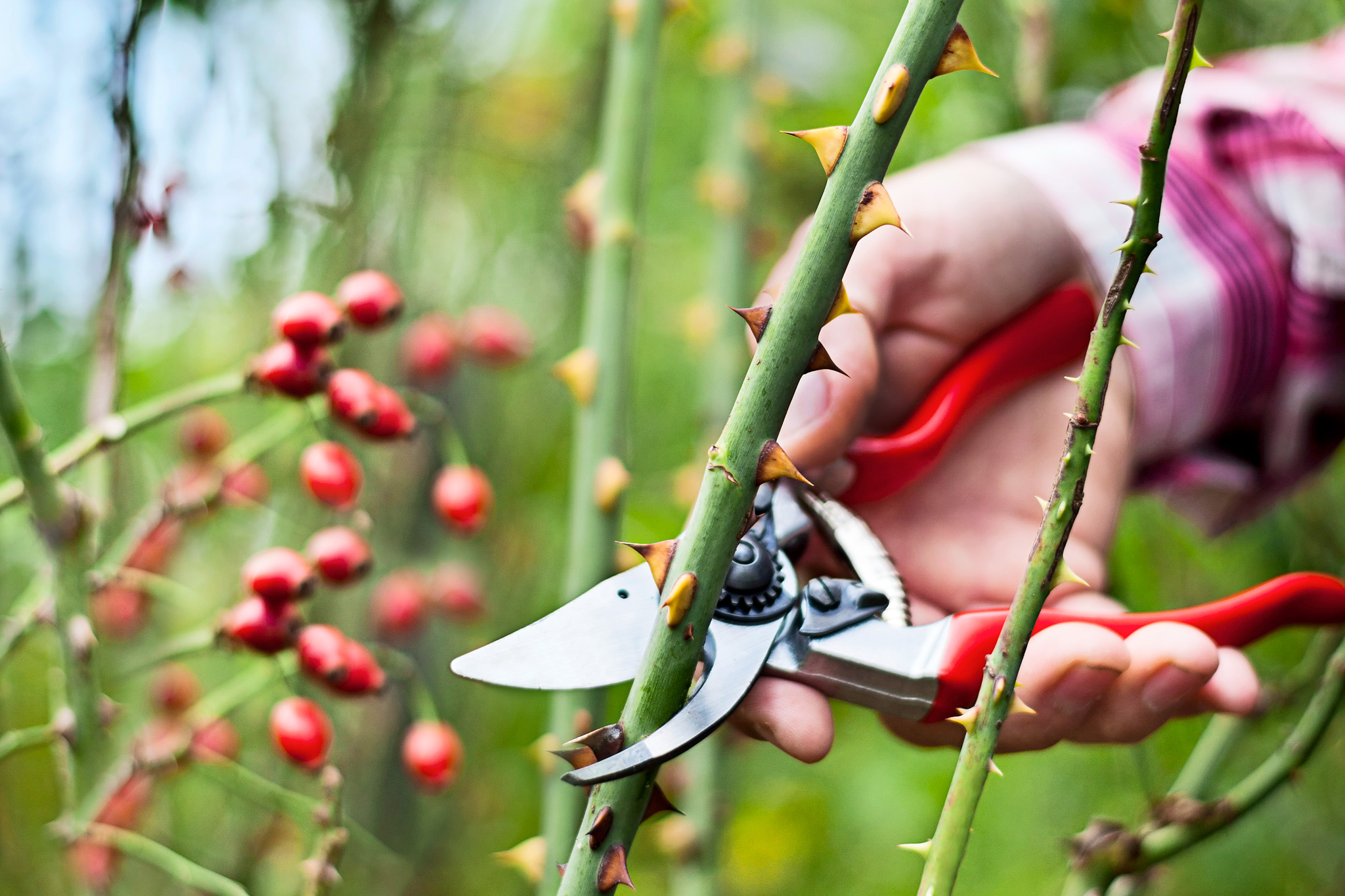 Shortening a long rose stem