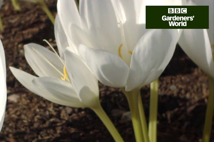 How to grow autumn-flowering colchicums video