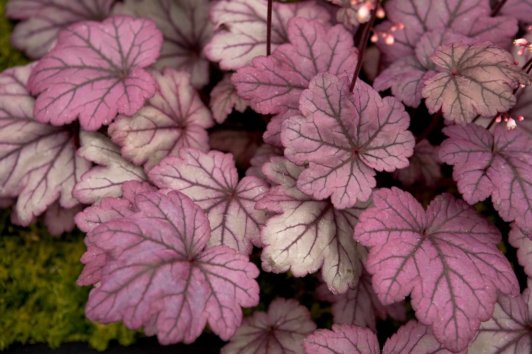 heuchera-sugar-plum-2