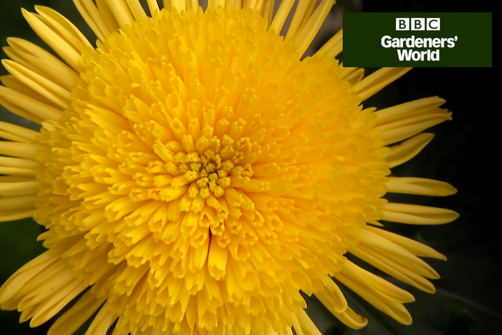 How to grow chrysanthemums video