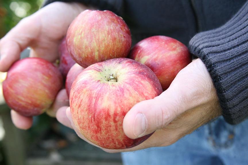 Should I compost fallen apples