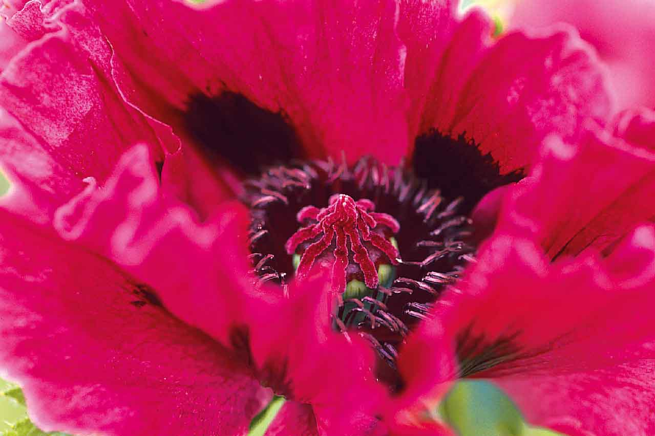 papaver-orientale-manhattan-2