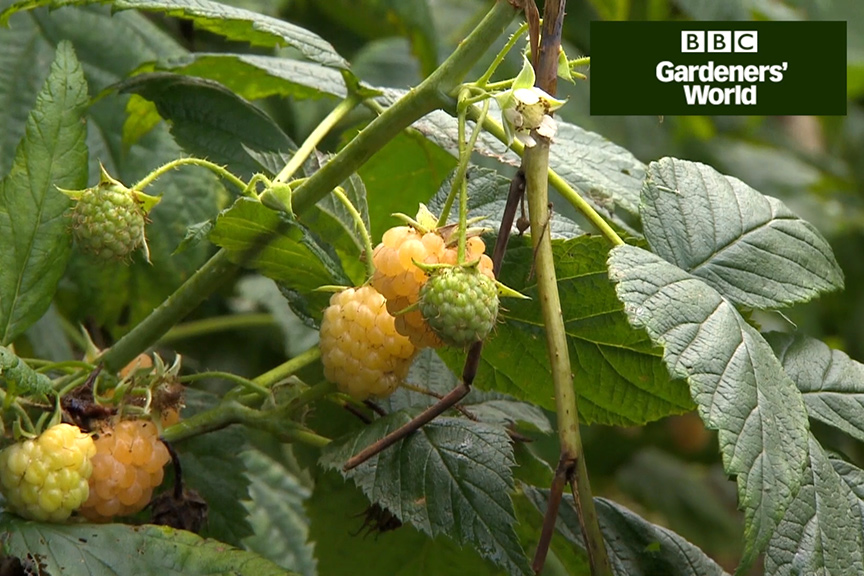 How to grow autumn raspberries video