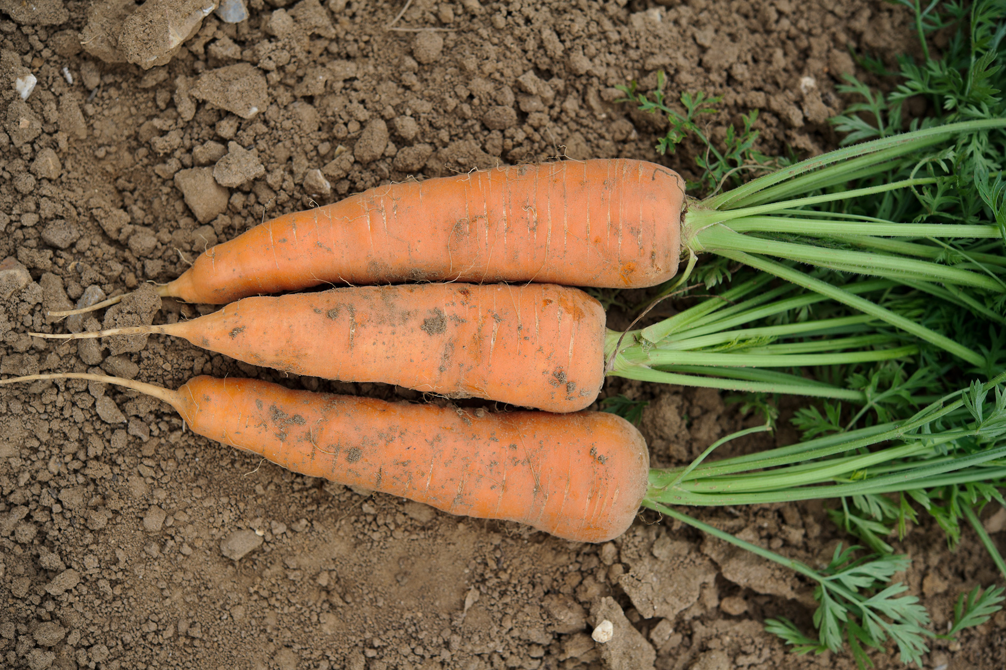 homegrown-carrots-2