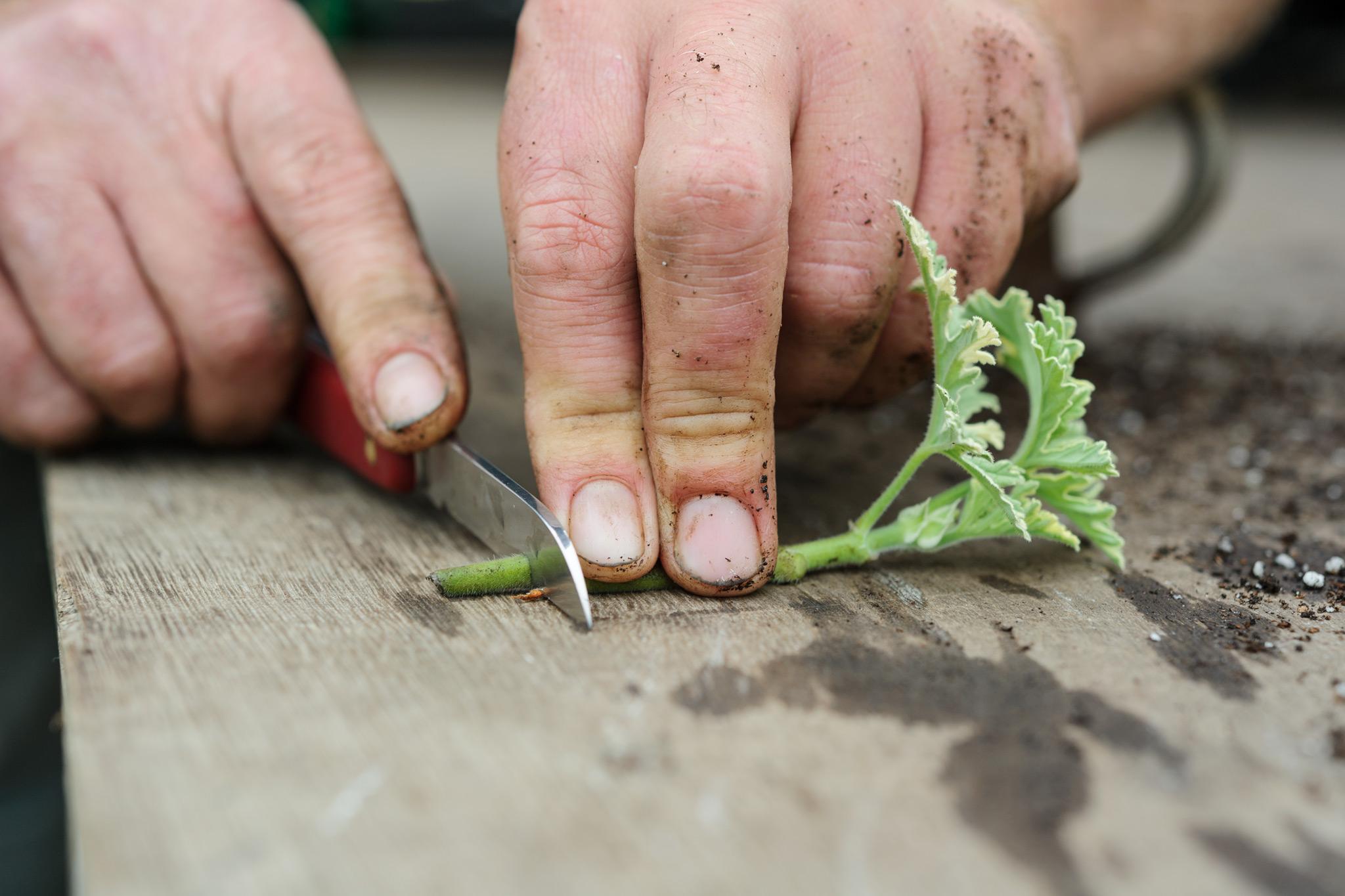 how to take regal cuttings