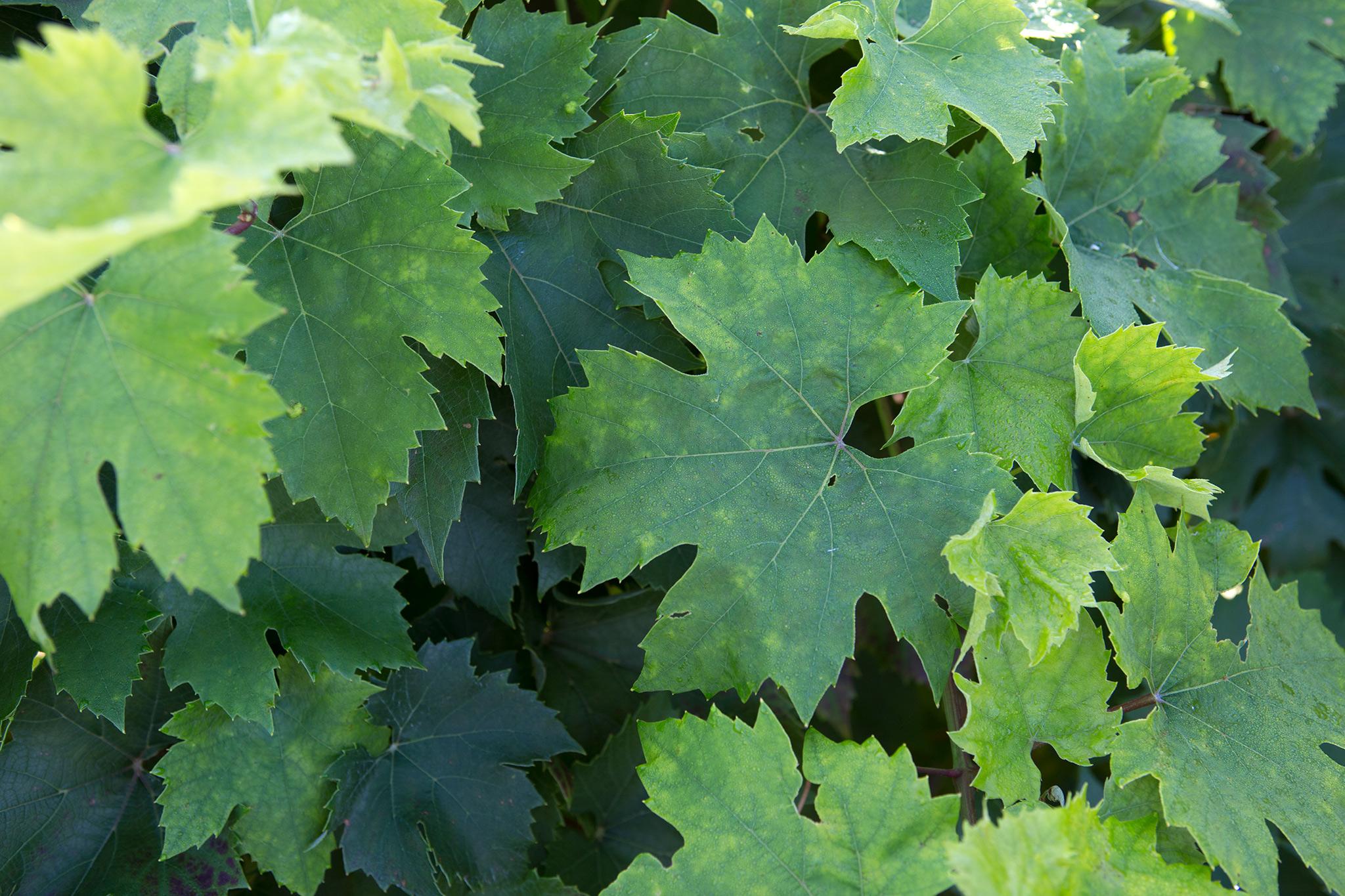 vitis-vinifera-4