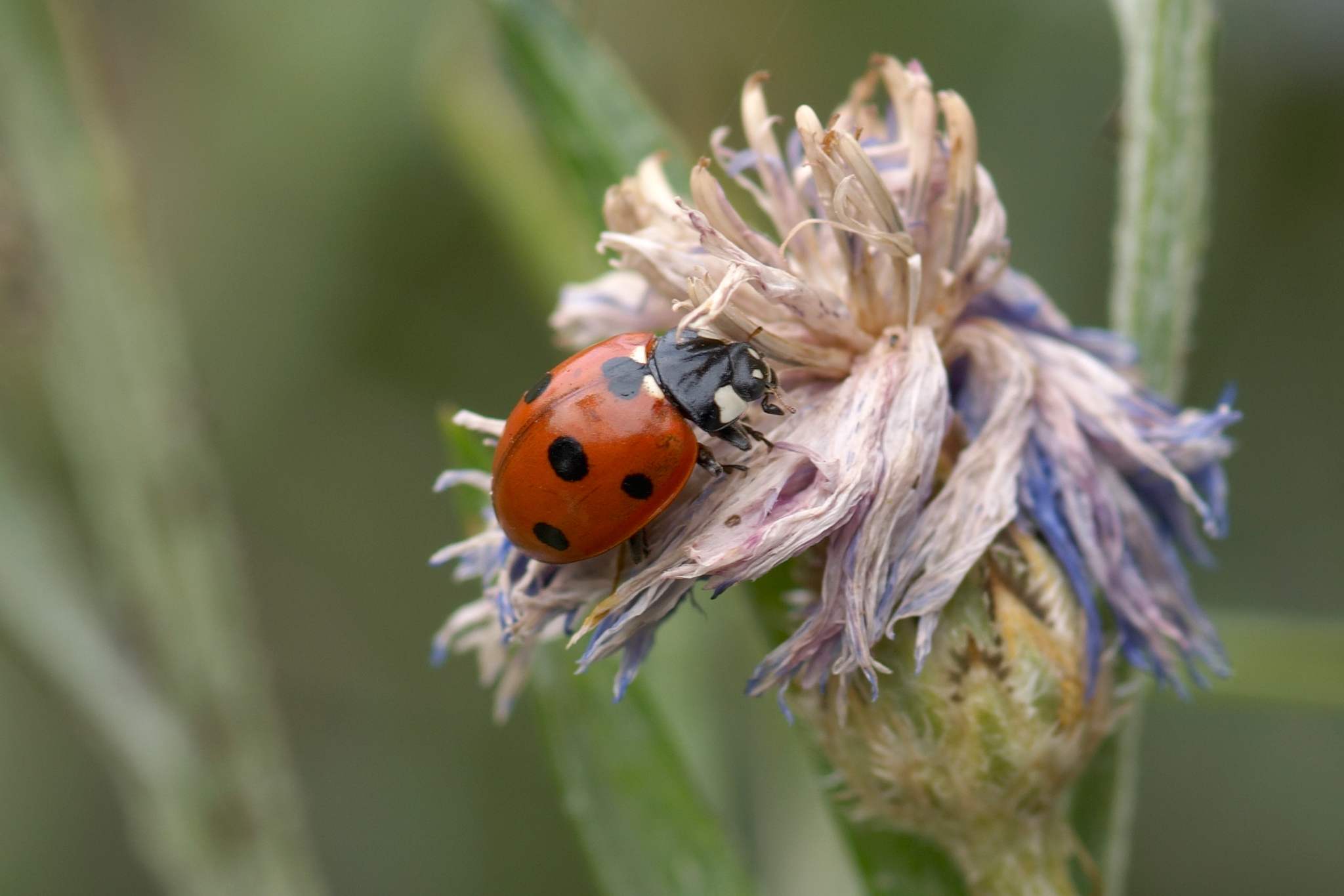 Ladybird on cornflower