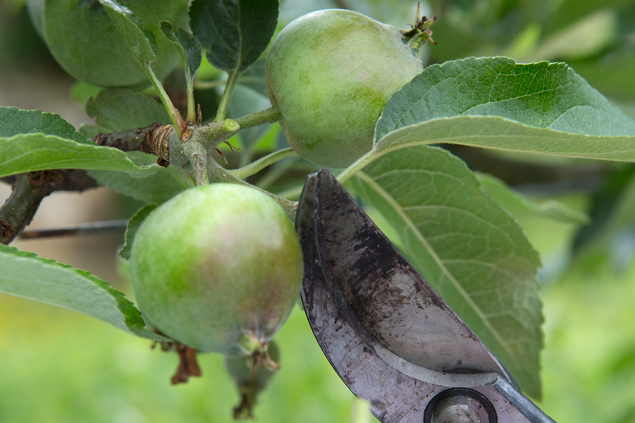 thinning-fruit-3