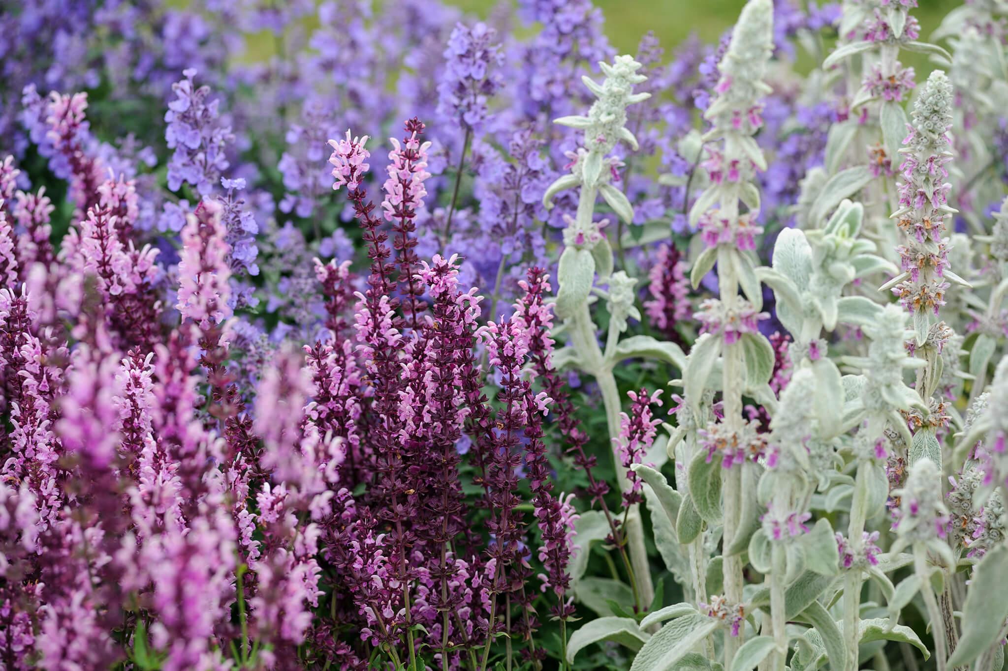 Salvia and stachys