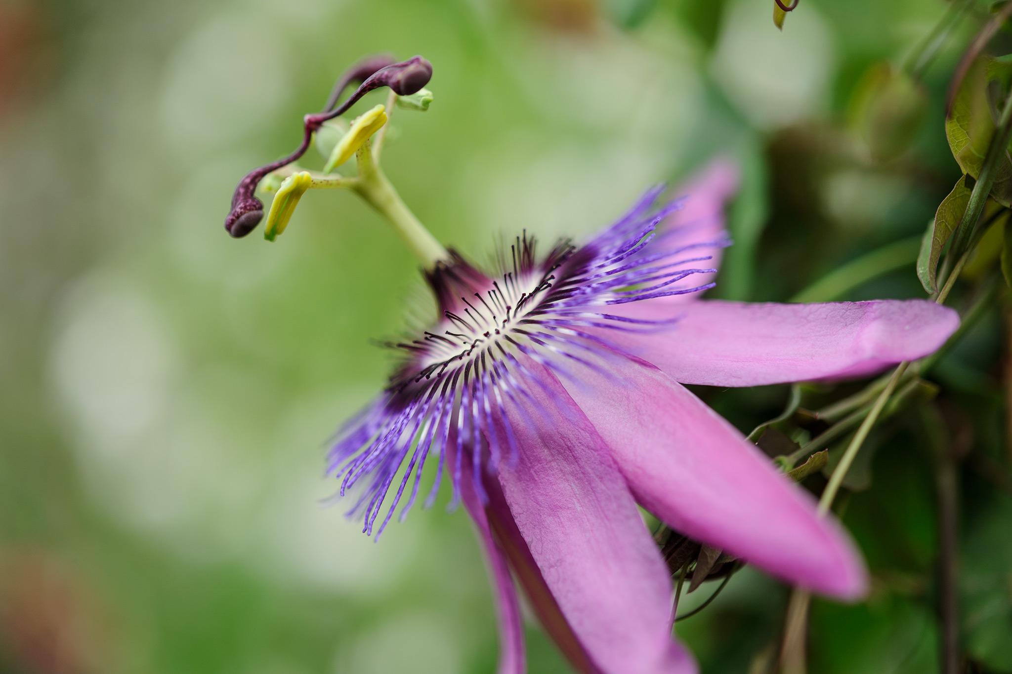 passiflora-amethyst-2