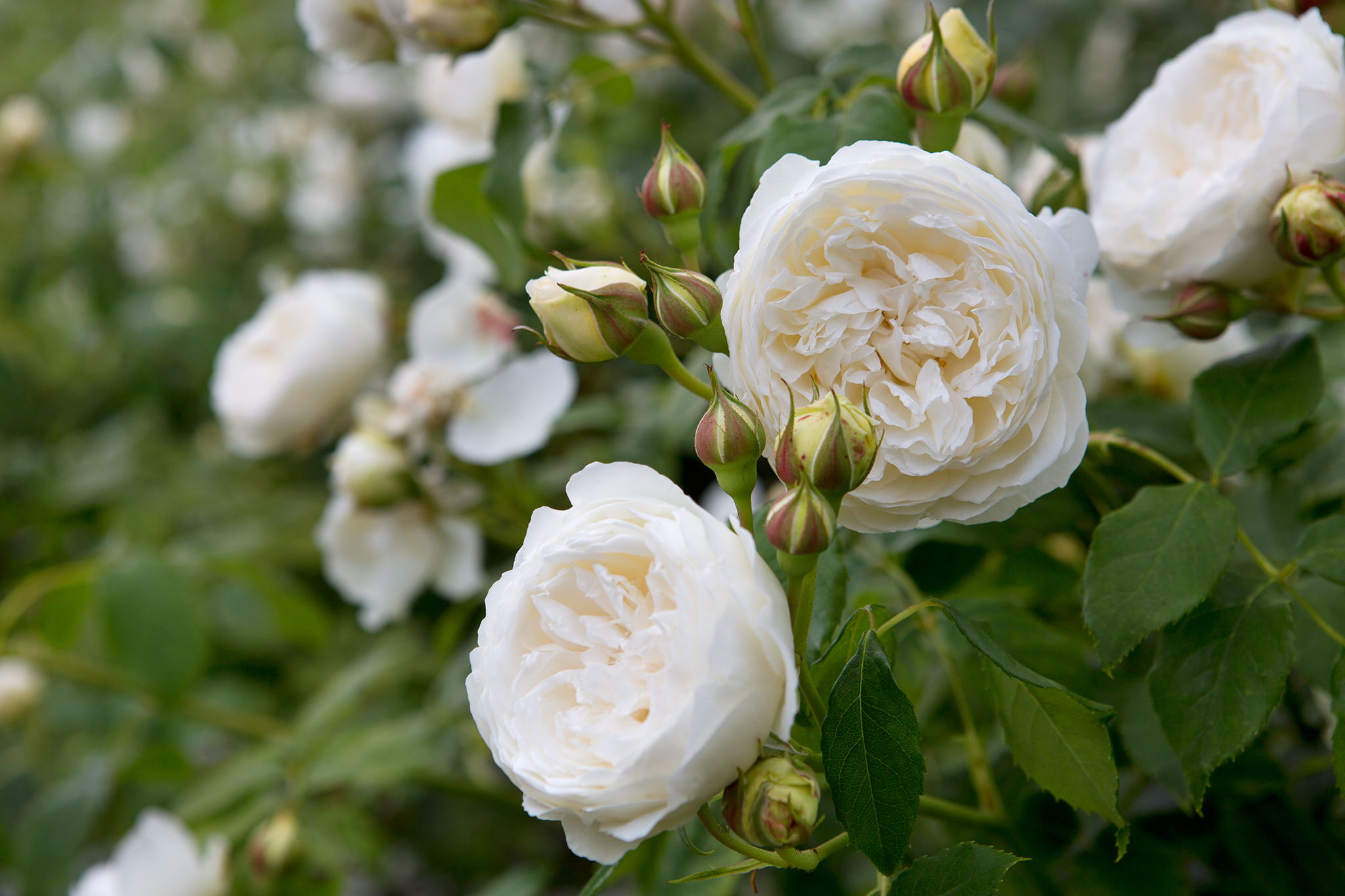 Best plants with white flowers gardenersworld rosa claire austin 3 mightylinksfo Image collections
