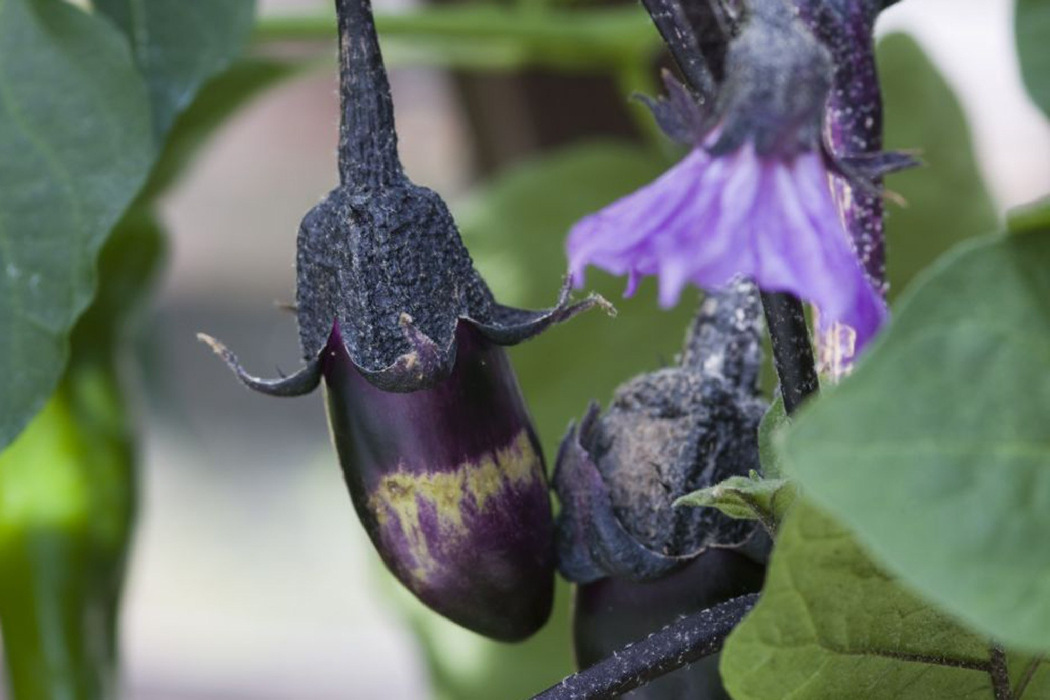 aubergine-fruit-developing-2