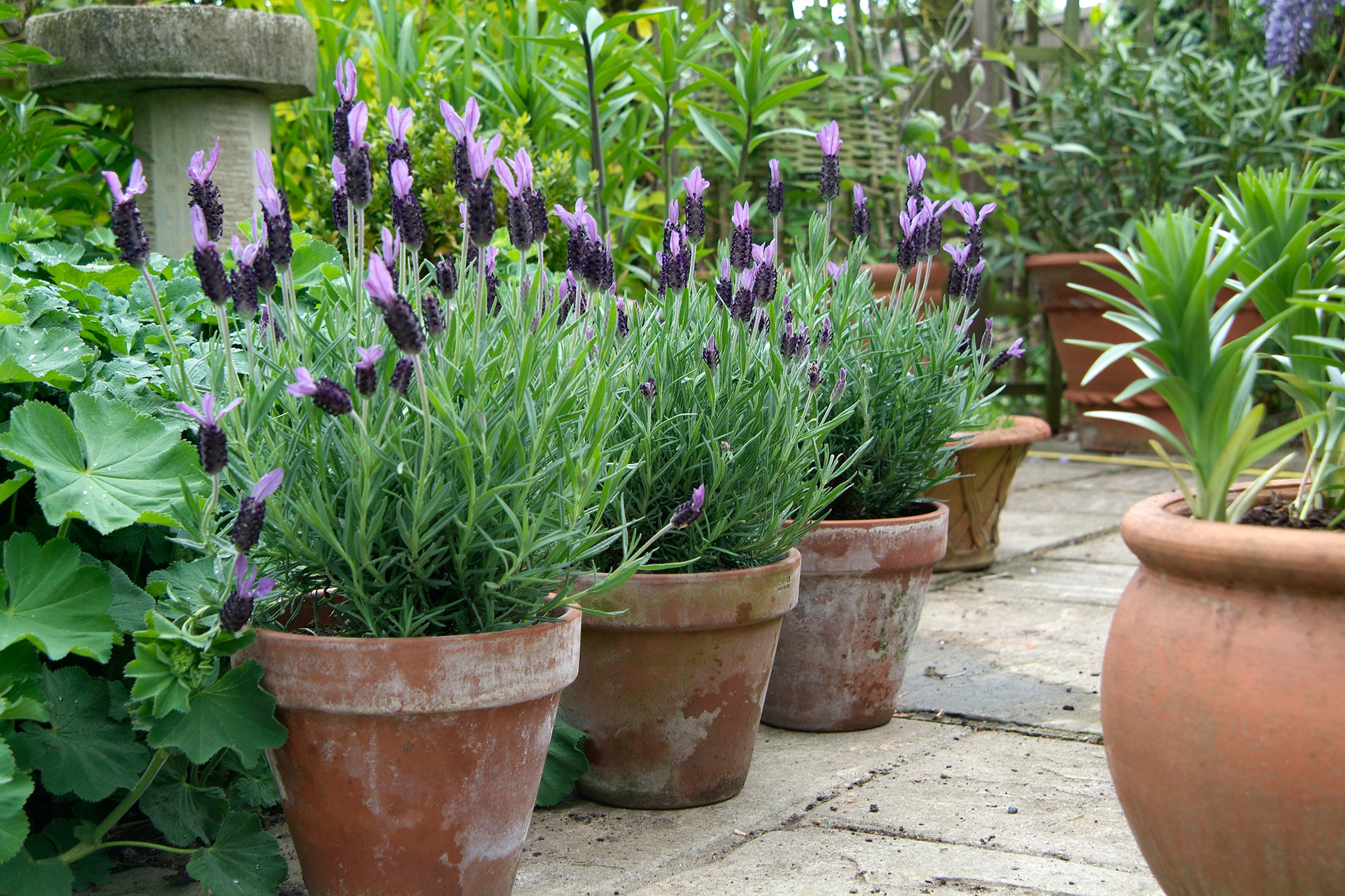 french-lavender-in-pots-3