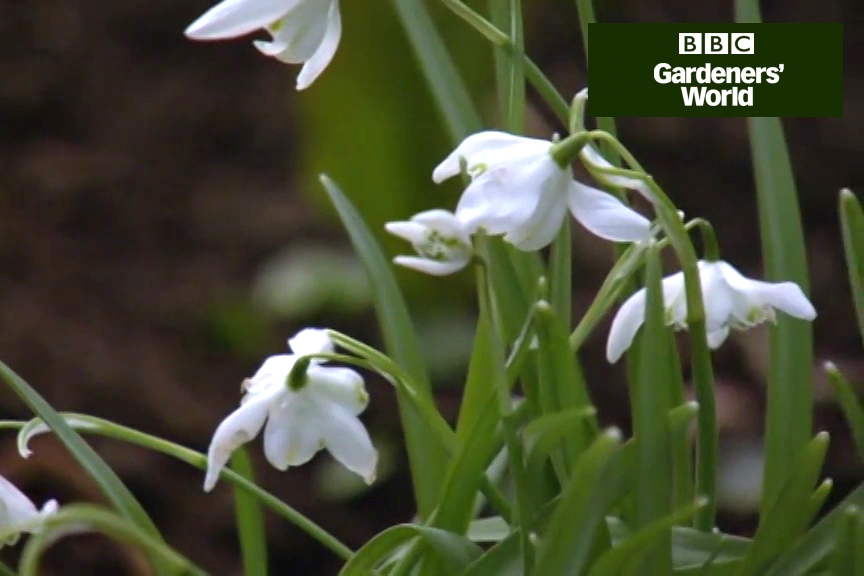 How to divide snowdrops in spring video