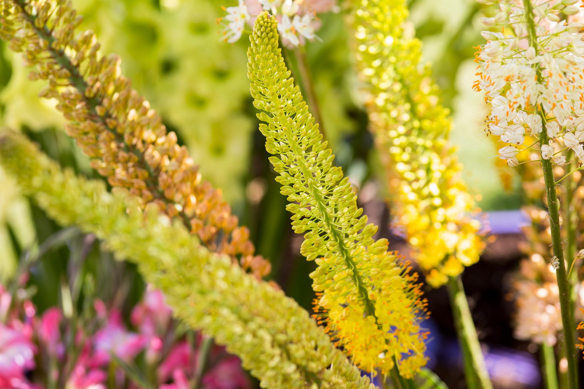 foxtail-lilies-2