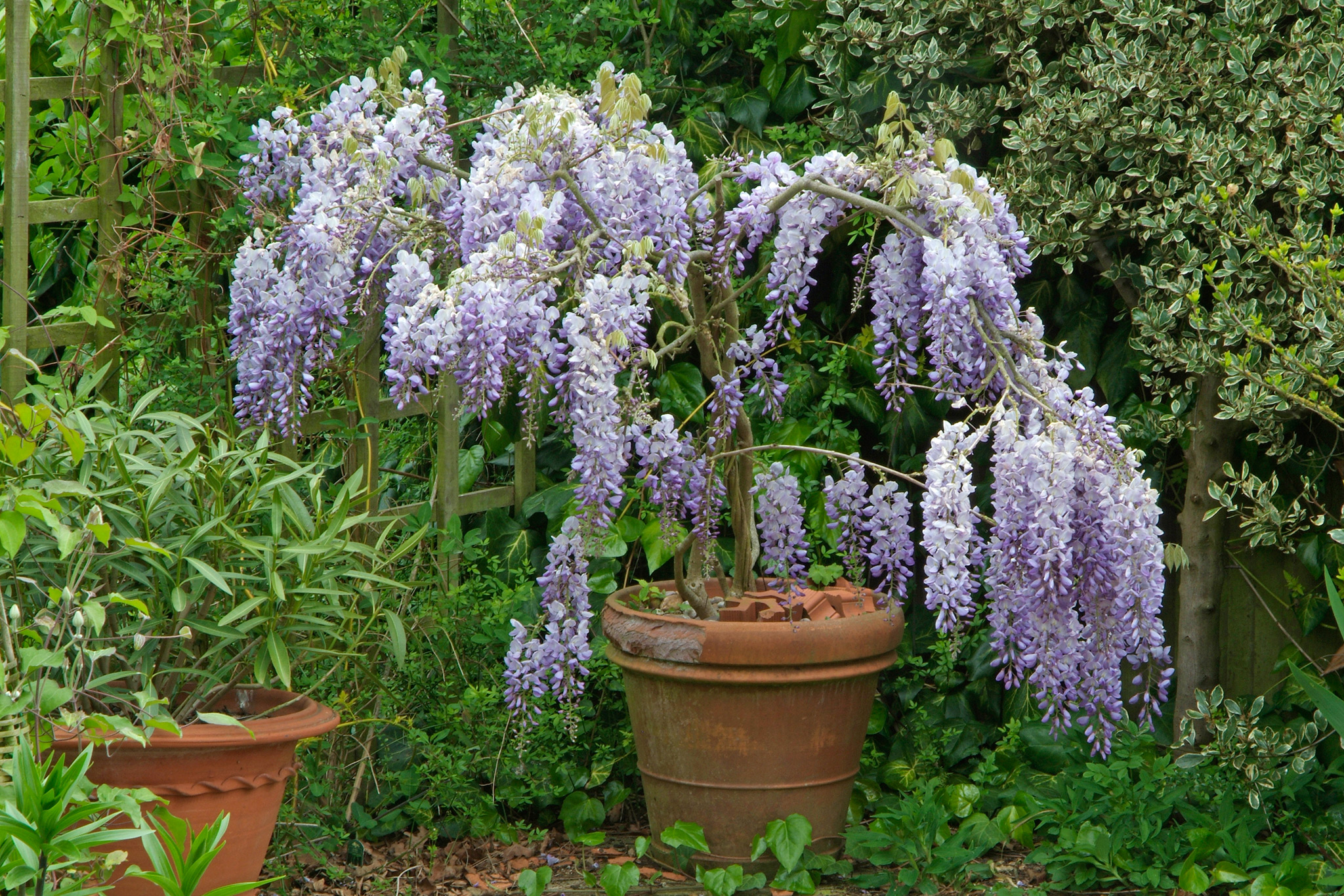 wisteria-sinensis-in-a-container-3