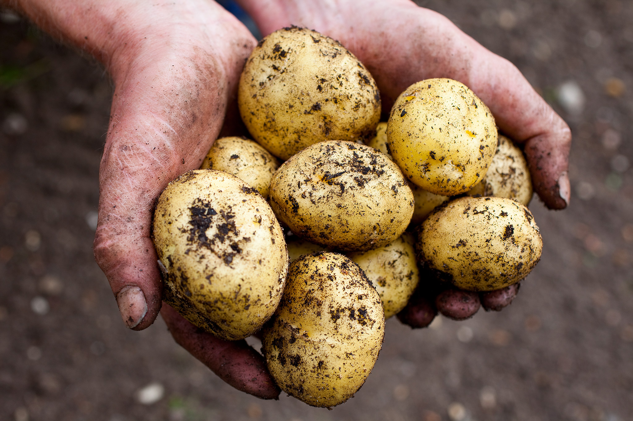 Freshly harvested potatoes