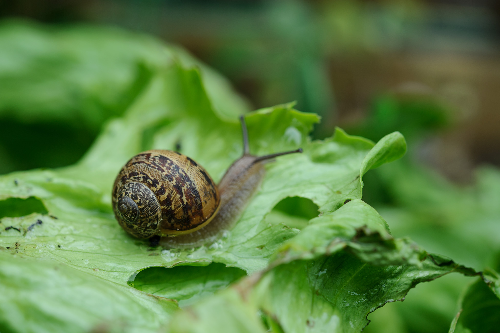 snail-on-salad-leaves-2