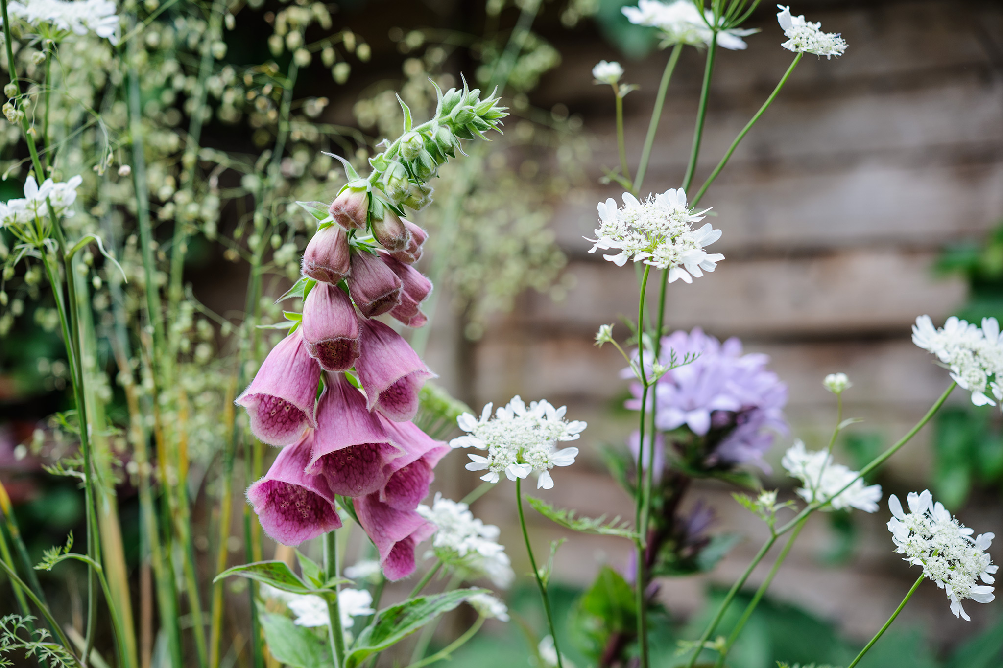 foxgloves-orlaya-and-greater-quaking-grass-3