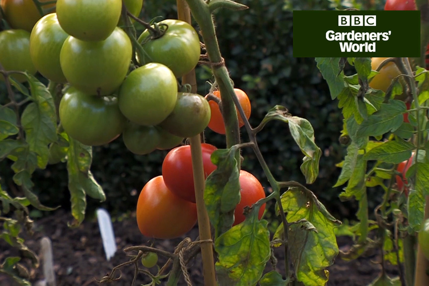 Monty Don's tomato trial part seven video
