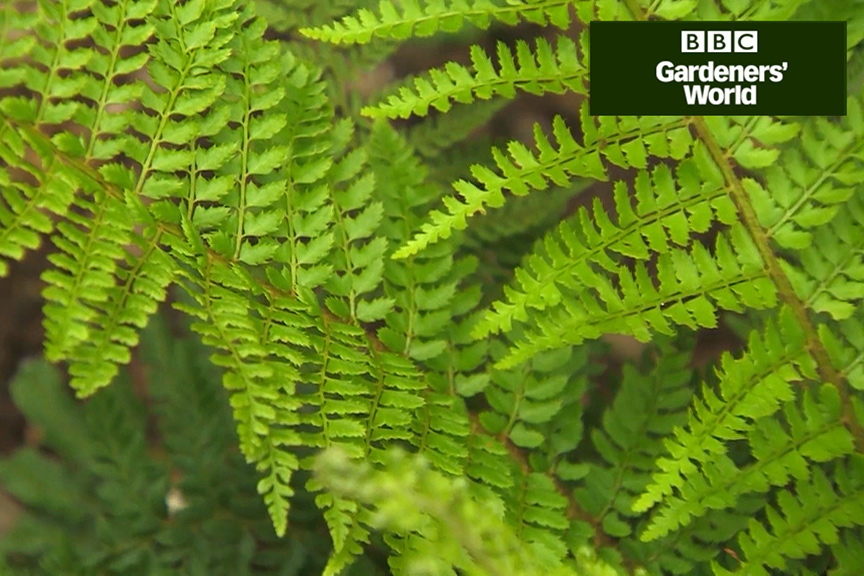 How to plant ferns in dry shade video