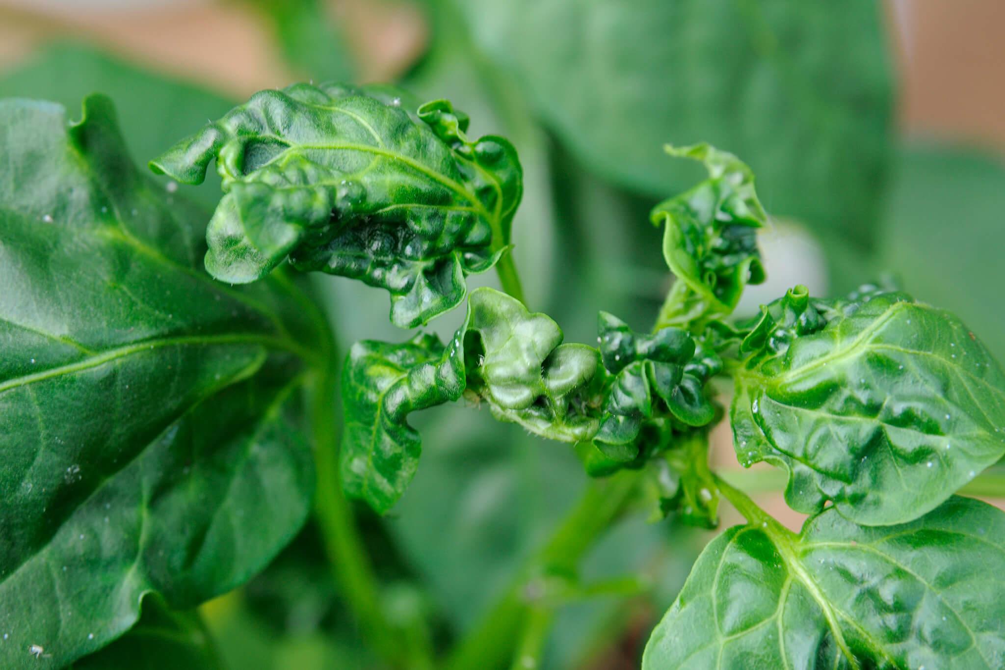 distorted-leaves-caused-by-viral-disease-2