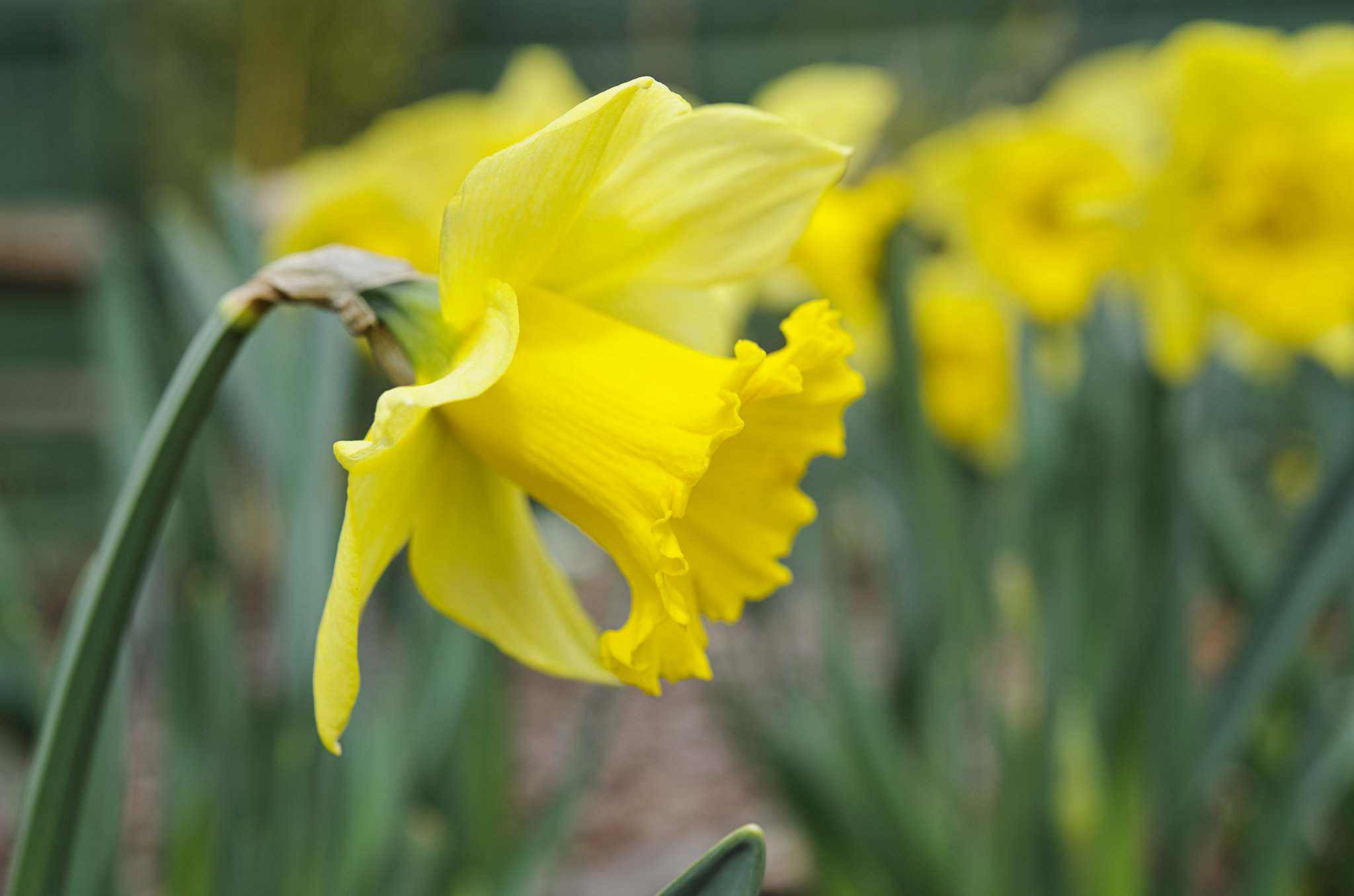 narcissus-rijnvelds-early-sensation-2