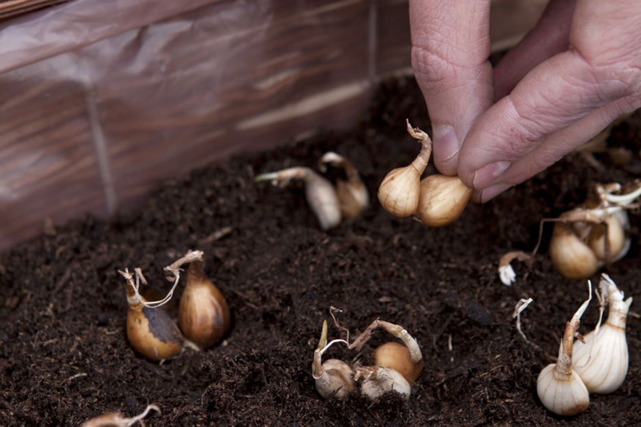 planting-narcissus-bulbs-in-the-window-box-3