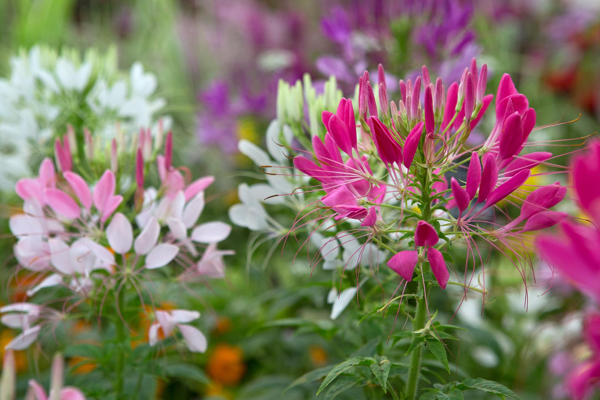10 Half Hardy Annuals To Grow Gardenersworld