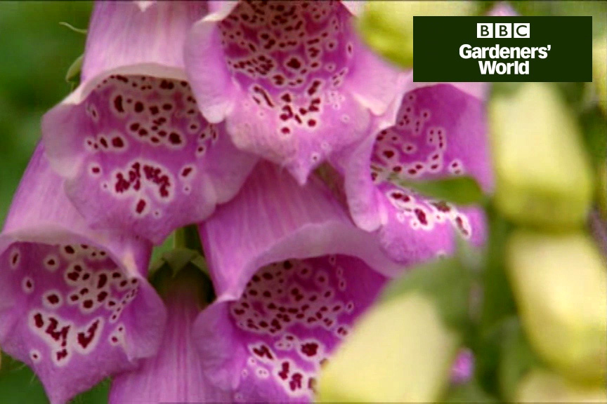 How to plant foxgloves video