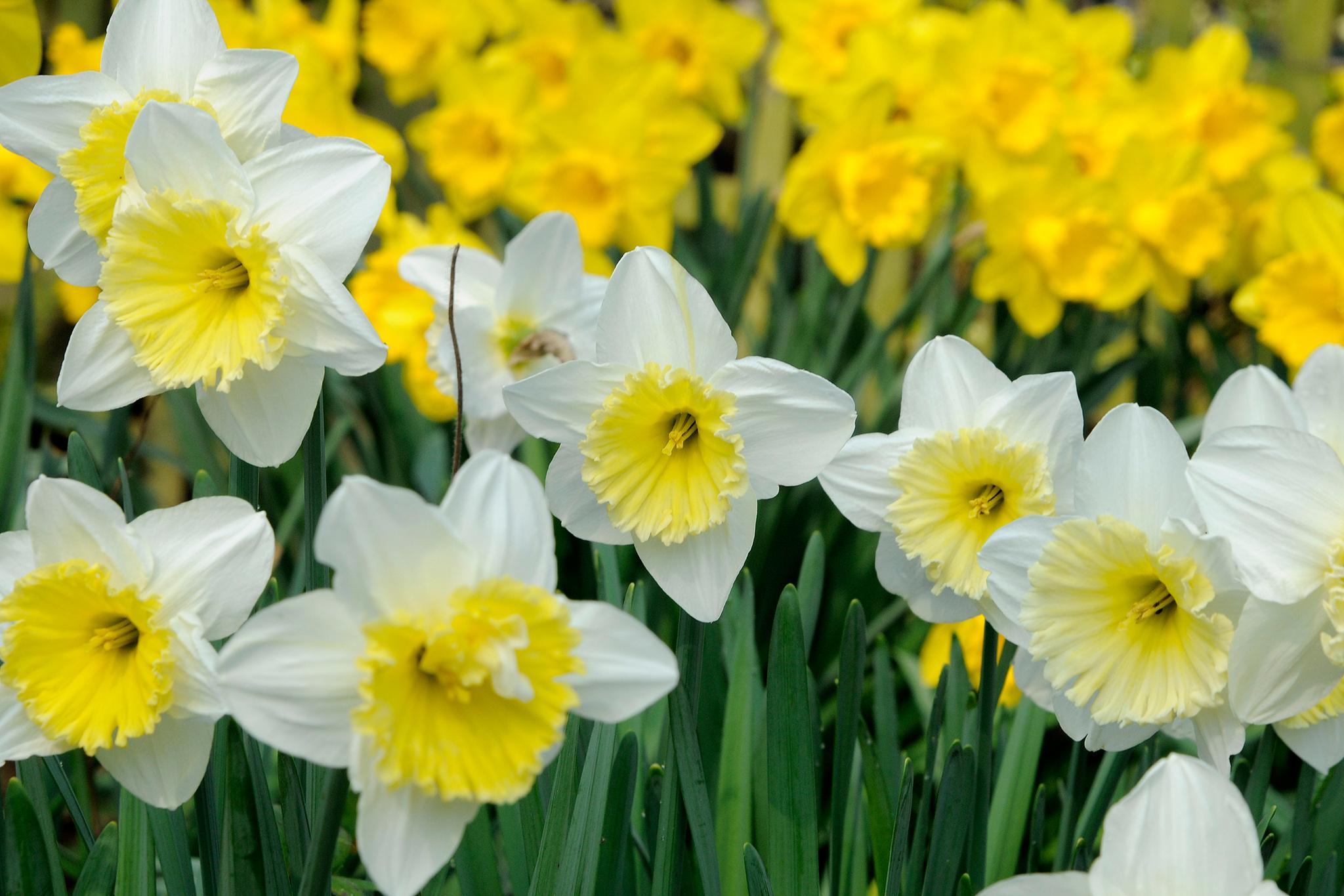 daffodil-flowers-3
