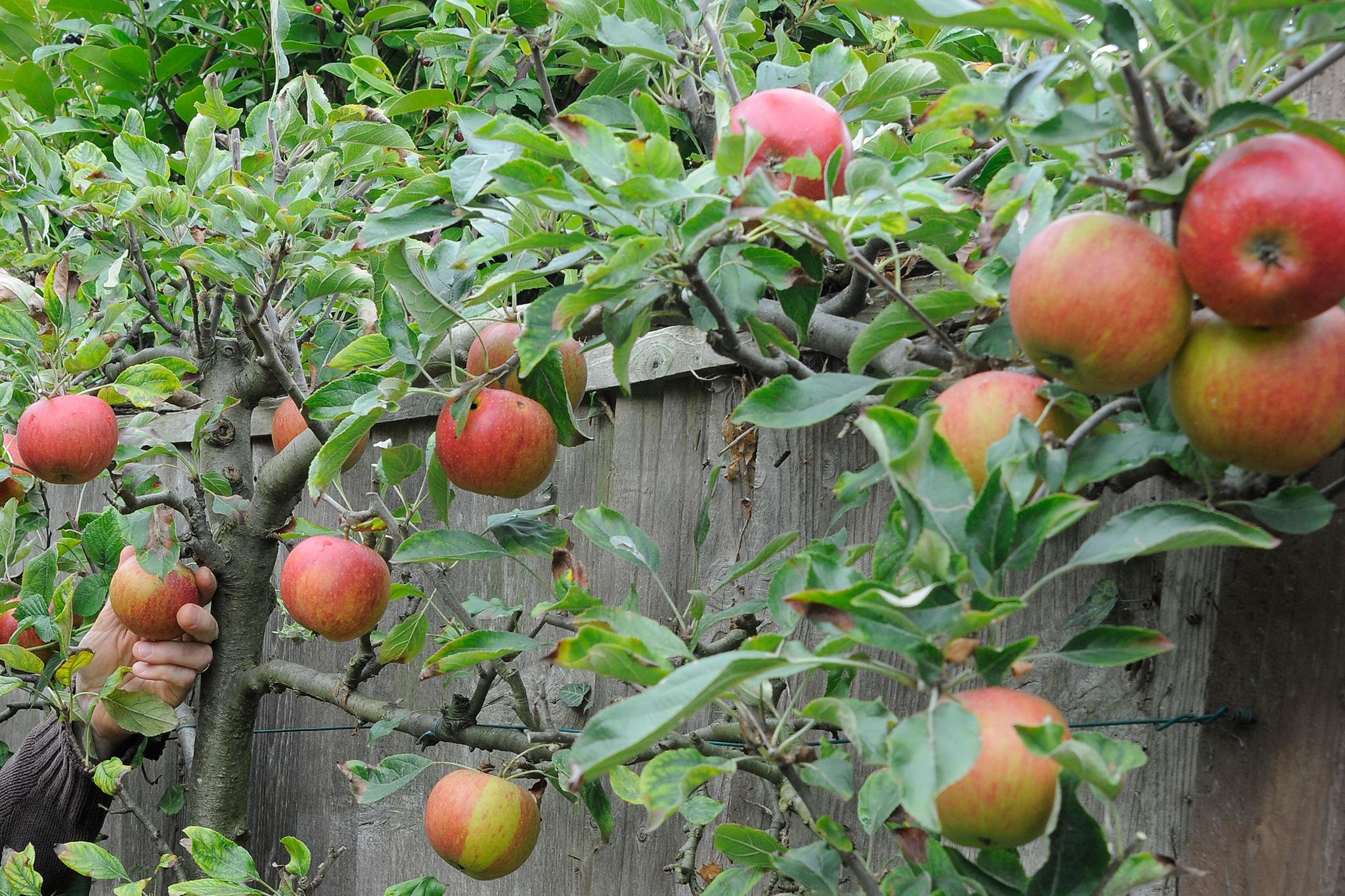 espalier-apple-tree-7