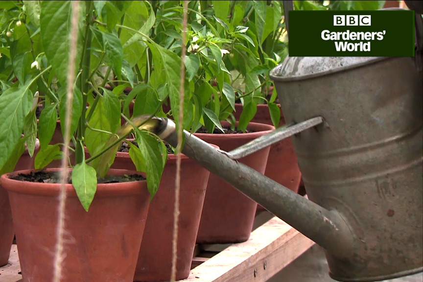 How to boost tomatoes with comfrey feed video
