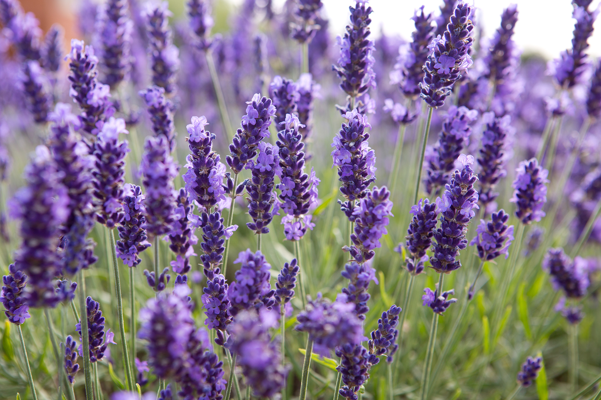 Take Lavender Cuttings