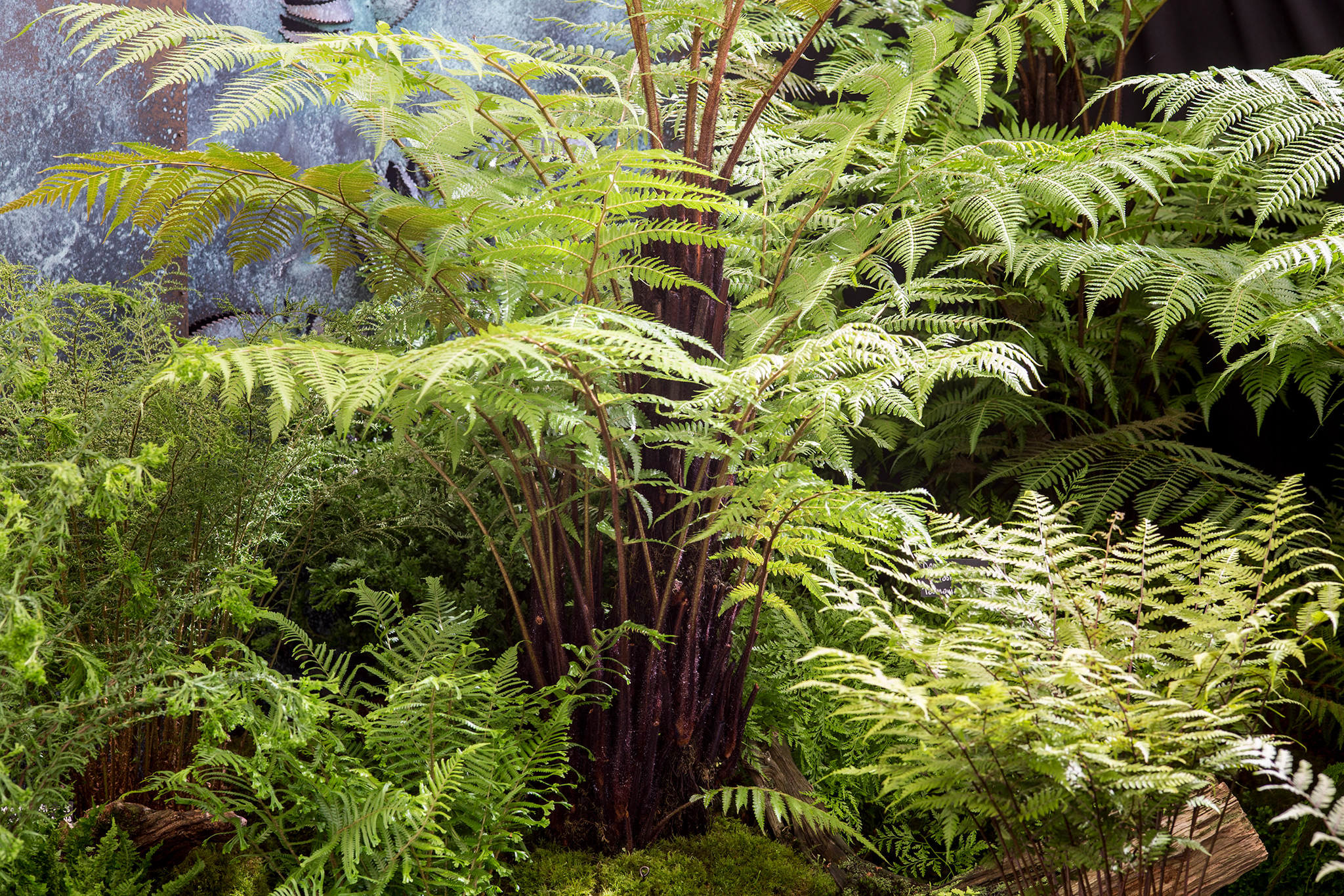 dicksonia-antarctica-tree-fern-2