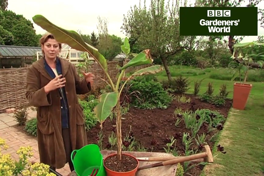 How to check bananas for frost damage video