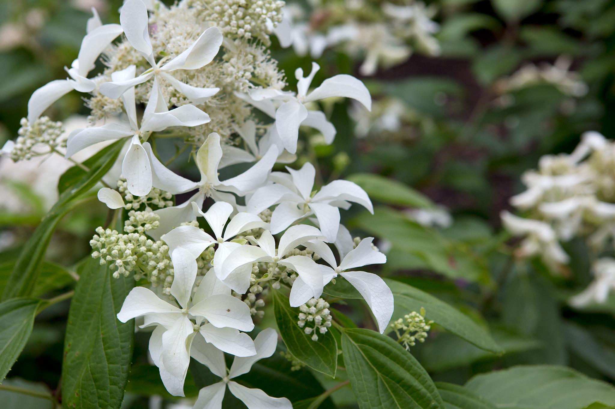 hydrangea-paniculata-great-star-5