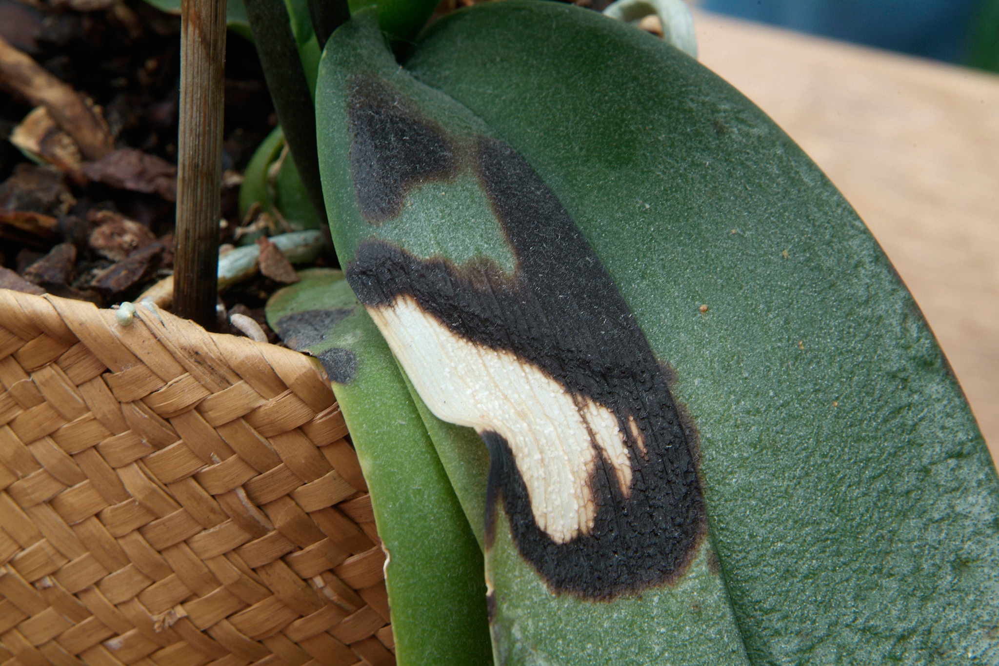 scorched-leaf-of-a-moth-orchid-2