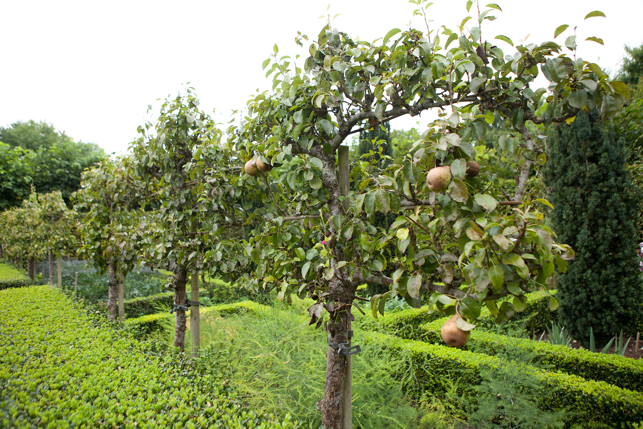 How to train a fruit tree