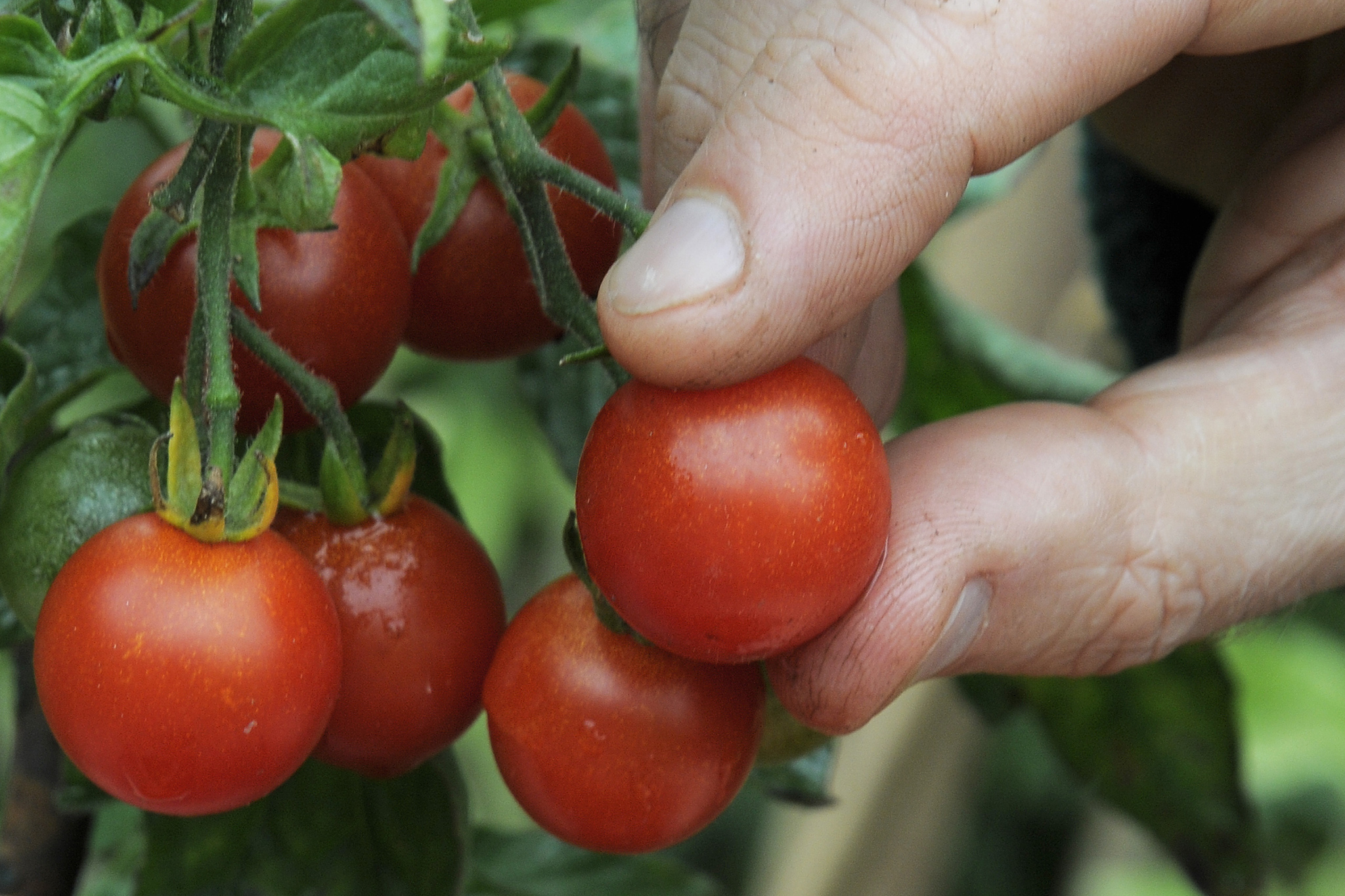 blight-resistant-cherry-tomato-2
