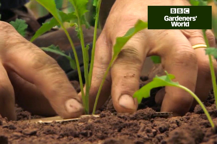 Two ways to plants brassicas (part one) video